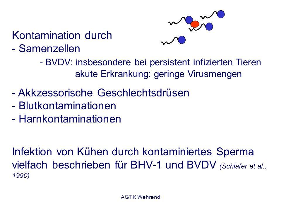 AGTK Wehrend Kontamination durch - Samenzellen - BVDV: insbesondere bei persistent infizierten Tieren akute Erkrankung: geringe Virusmengen - Akkzesso