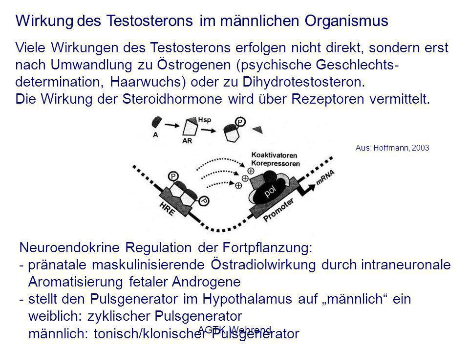 AGTK Wehrend Wirkung des Testosterons im männlichen Organismus Viele Wirkungen des Testosterons erfolgen nicht direkt, sondern erst nach Umwandlung zu Östrogenen (psychische Geschlechts- determination, Haarwuchs) oder zu Dihydrotestosteron.