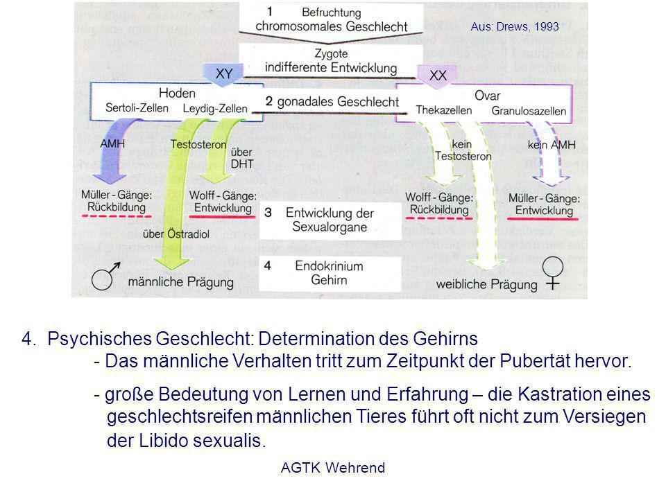 AGTK Wehrend 4.Psychisches Geschlecht: Determination des Gehirns - Das männliche Verhalten tritt zum Zeitpunkt der Pubertät hervor.