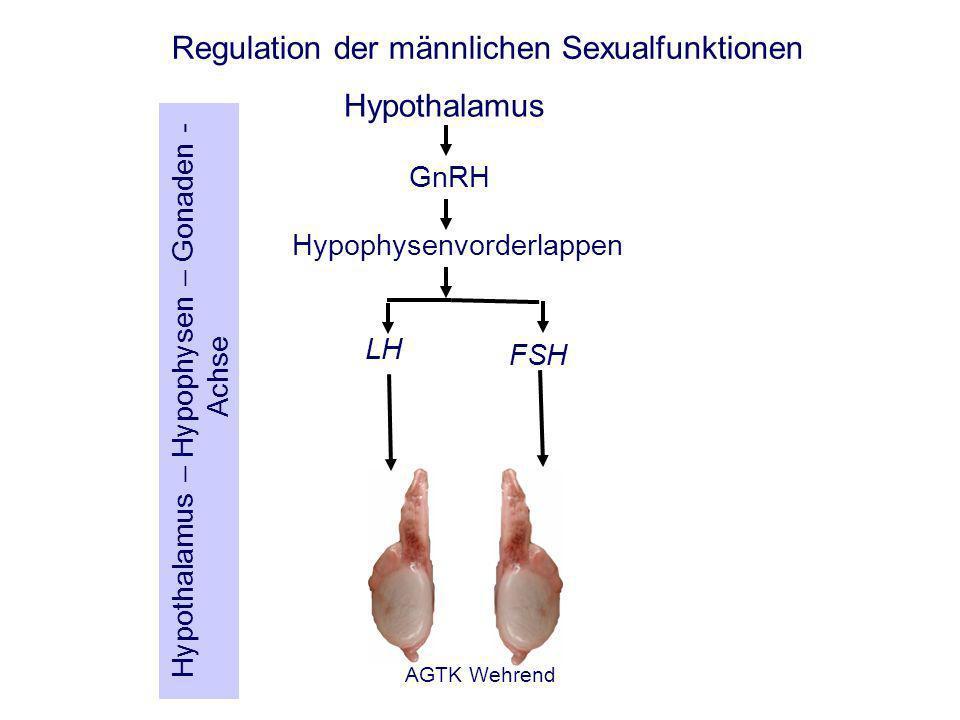 AGTK Wehrend Regulation der männlichen Sexualfunktionen Hypothalamus Hypophysenvorderlappen GnRH LH FSH Hypothalamus – Hypophysen – Gonaden - Achse