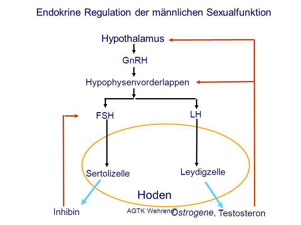 AGTK Wehrend Endokrine Regulation der männlichen Sexualfunktion Hypothalamus Hypophysenvorderlappen Sertolizelle Hoden Leydigzelle GnRH FSH LH Inhibin Testosteron Östrogene,