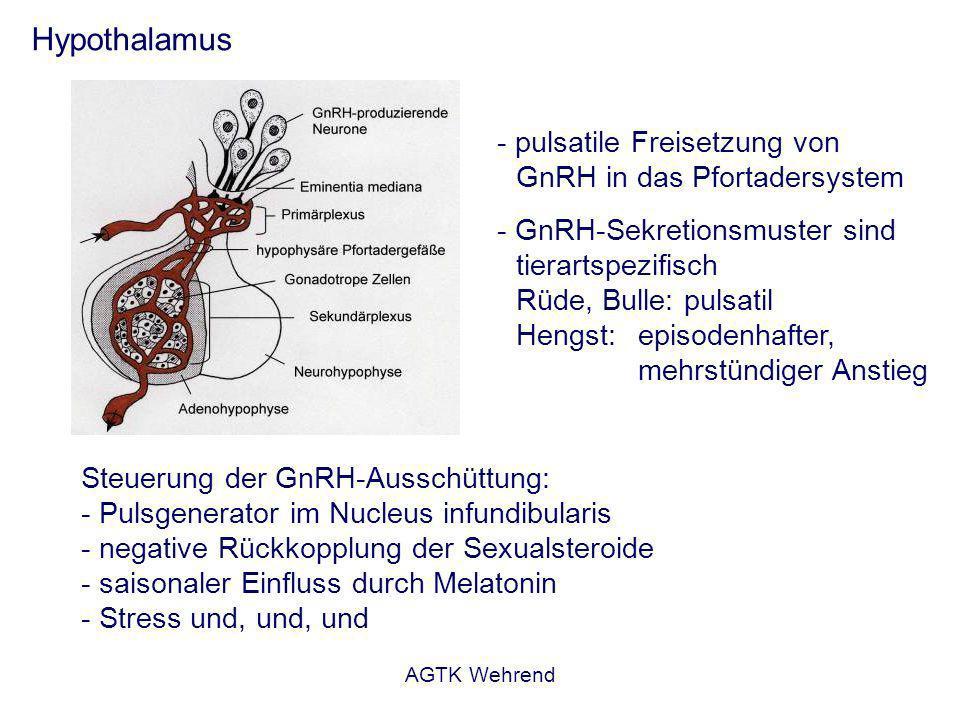 AGTK Wehrend Hypothalamus - pulsatile Freisetzung von GnRH in das Pfortadersystem - GnRH-Sekretionsmuster sind tierartspezifisch Rüde, Bulle: pulsatil Hengst: episodenhafter, mehrstündiger Anstieg Steuerung der GnRH-Ausschüttung: - Pulsgenerator im Nucleus infundibularis - negative Rückkopplung der Sexualsteroide - saisonaler Einfluss durch Melatonin - Stress und, und, und