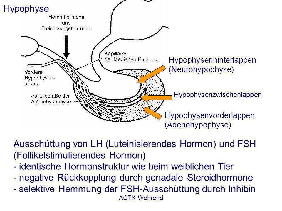 AGTK Wehrend Hypophysenvorderlappen (Adenohypophyse) Hypophysenhinterlappen (Neurohypophyse) Hypophysenzwischenlappen Hypophyse Ausschüttung von LH (Luteinisierendes Hormon) und FSH (Follikelstimulierendes Hormon) - identische Hormonstruktur wie beim weiblichen Tier - negative Rückkopplung durch gonadale Steroidhormone - selektive Hemmung der FSH-Ausschüttung durch Inhibin