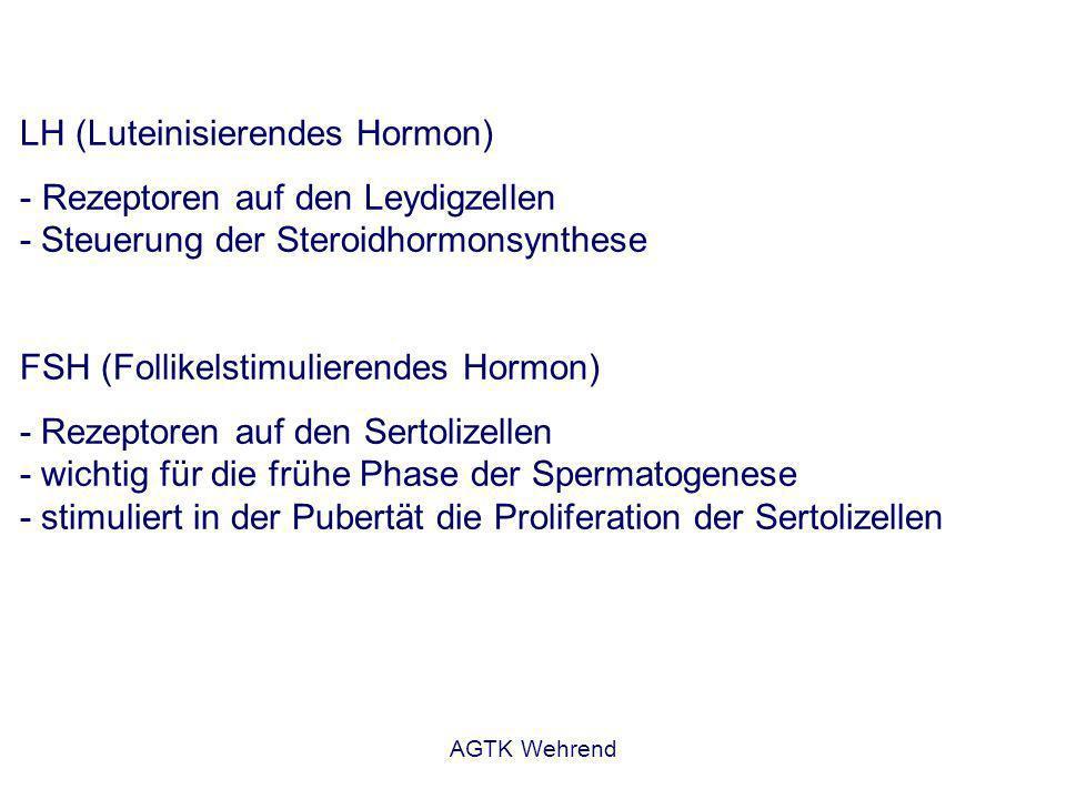 AGTK Wehrend LH (Luteinisierendes Hormon) - Rezeptoren auf den Leydigzellen - Steuerung der Steroidhormonsynthese FSH (Follikelstimulierendes Hormon) - Rezeptoren auf den Sertolizellen - wichtig für die frühe Phase der Spermatogenese - stimuliert in der Pubertät die Proliferation der Sertolizellen