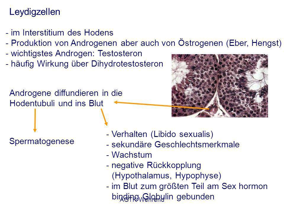 AGTK Wehrend Leydigzellen - im Interstitium des Hodens - Produktion von Androgenen aber auch von Östrogenen (Eber, Hengst) - wichtigstes Androgen: Testosteron - häufig Wirkung über Dihydrotestosteron Androgene diffundieren in die Hodentubuli und ins Blut Spermatogenese - Verhalten (Libido sexualis) - sekundäre Geschlechtsmerkmale - Wachstum - negative Rückkopplung (Hypothalamus, Hypophyse) - im Blut zum größten Teil am Sex hormon binding Globulin gebunden