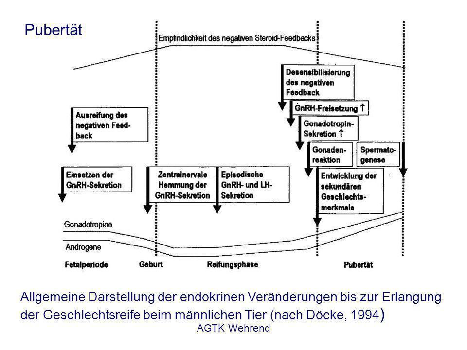 AGTK Wehrend Pubertät Allgemeine Darstellung der endokrinen Veränderungen bis zur Erlangung der Geschlechtsreife beim männlichen Tier (nach Döcke, 1994 )