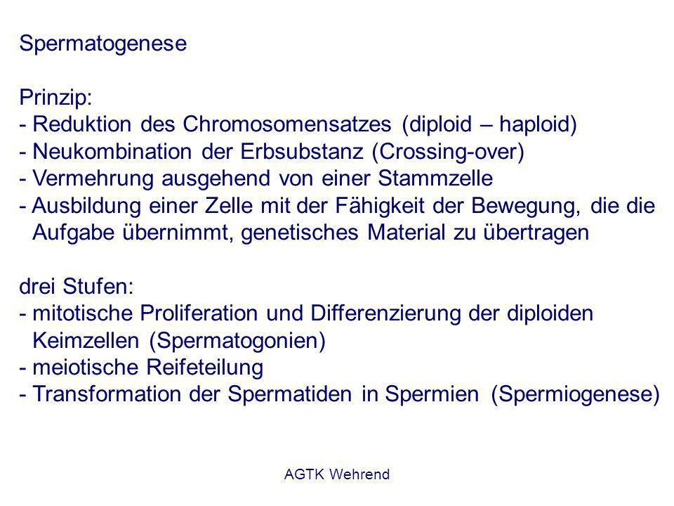 AGTK Wehrend Spermatogenese Prinzip: - Reduktion des Chromosomensatzes (diploid – haploid) - Neukombination der Erbsubstanz (Crossing-over) - Vermehrung ausgehend von einer Stammzelle - Ausbildung einer Zelle mit der Fähigkeit der Bewegung, die die Aufgabe übernimmt, genetisches Material zu übertragen drei Stufen: - mitotische Proliferation und Differenzierung der diploiden Keimzellen (Spermatogonien) - meiotische Reifeteilung - Transformation der Spermatiden in Spermien (Spermiogenese)