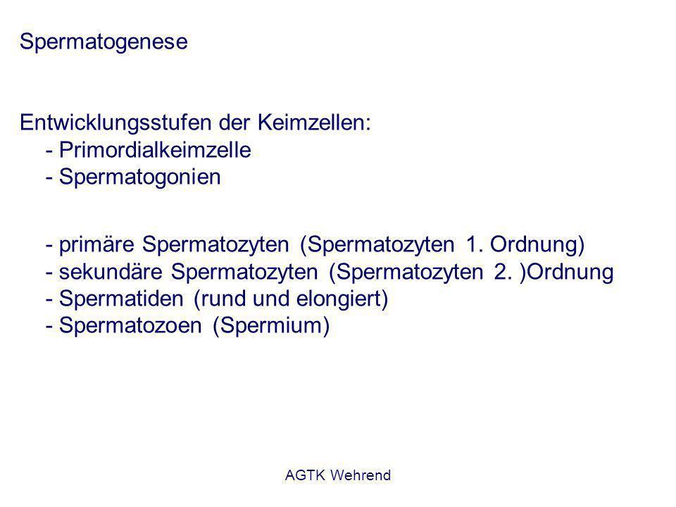 AGTK Wehrend Spermatogenese Entwicklungsstufen der Keimzellen: - Primordialkeimzelle - Spermatogonien - primäre Spermatozyten (Spermatozyten 1.