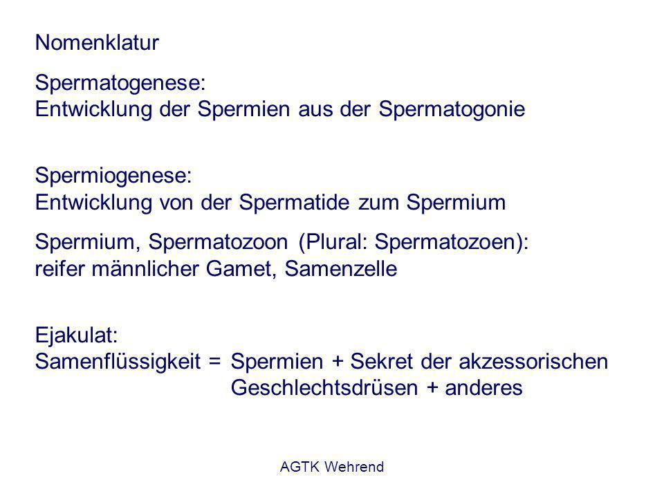 AGTK Wehrend Nomenklatur Spermatogenese: Entwicklung der Spermien aus der Spermatogonie Spermiogenese: Entwicklung von der Spermatide zum Spermium Spermium, Spermatozoon (Plural: Spermatozoen): reifer männlicher Gamet, Samenzelle Ejakulat: Samenflüssigkeit = Spermien + Sekret der akzessorischen Geschlechtsdrüsen + anderes
