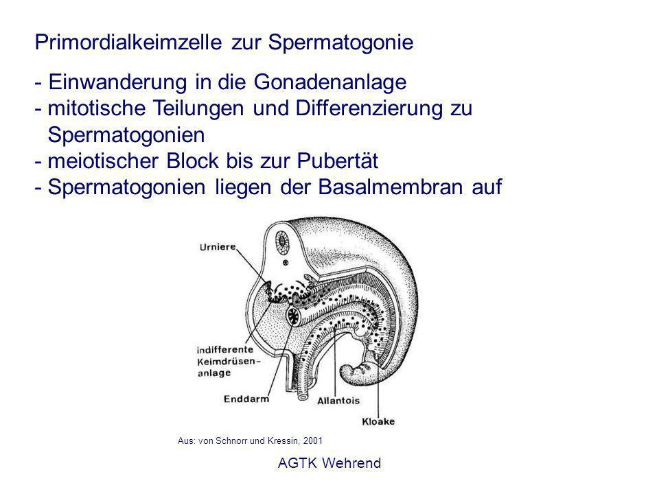AGTK Wehrend Primordialkeimzelle zur Spermatogonie - Einwanderung in die Gonadenanlage - mitotische Teilungen und Differenzierung zu Spermatogonien - meiotischer Block bis zur Pubertät - Spermatogonien liegen der Basalmembran auf Aus: von Schnorr und Kressin, 2001