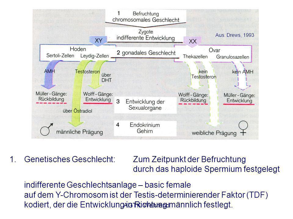 AGTK Wehrend 1.Genetisches Geschlecht: Zum Zeitpunkt der Befruchtung durch das haploide Spermium festgelegt indifferente Geschlechtsanlage – basic female auf dem Y-Chromosom ist der Testis-determinierender Faktor (TDF) kodiert, der die Entwicklung in Richtung männlich festlegt.