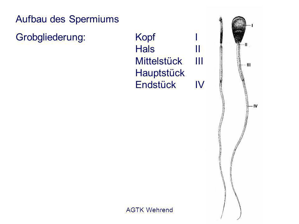 AGTK Wehrend Aufbau des Spermiums Grobgliederung:Kopf I HalsII MittelstückIII Hauptstück EndstückIV