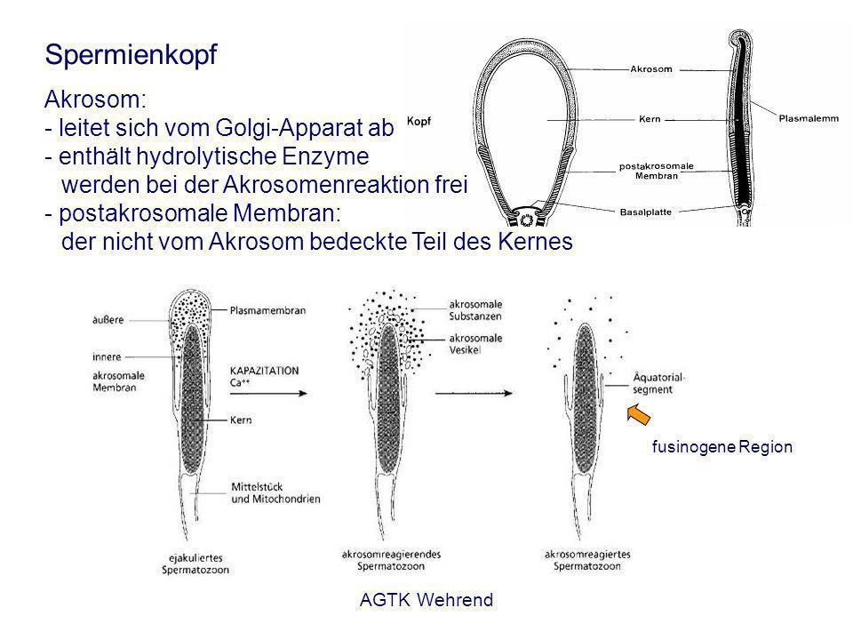 AGTK Wehrend Spermienkopf Akrosom: - leitet sich vom Golgi-Apparat ab - enthält hydrolytische Enzyme werden bei der Akrosomenreaktion frei - postakrosomale Membran: der nicht vom Akrosom bedeckte Teil des Kernes fusinogene Region