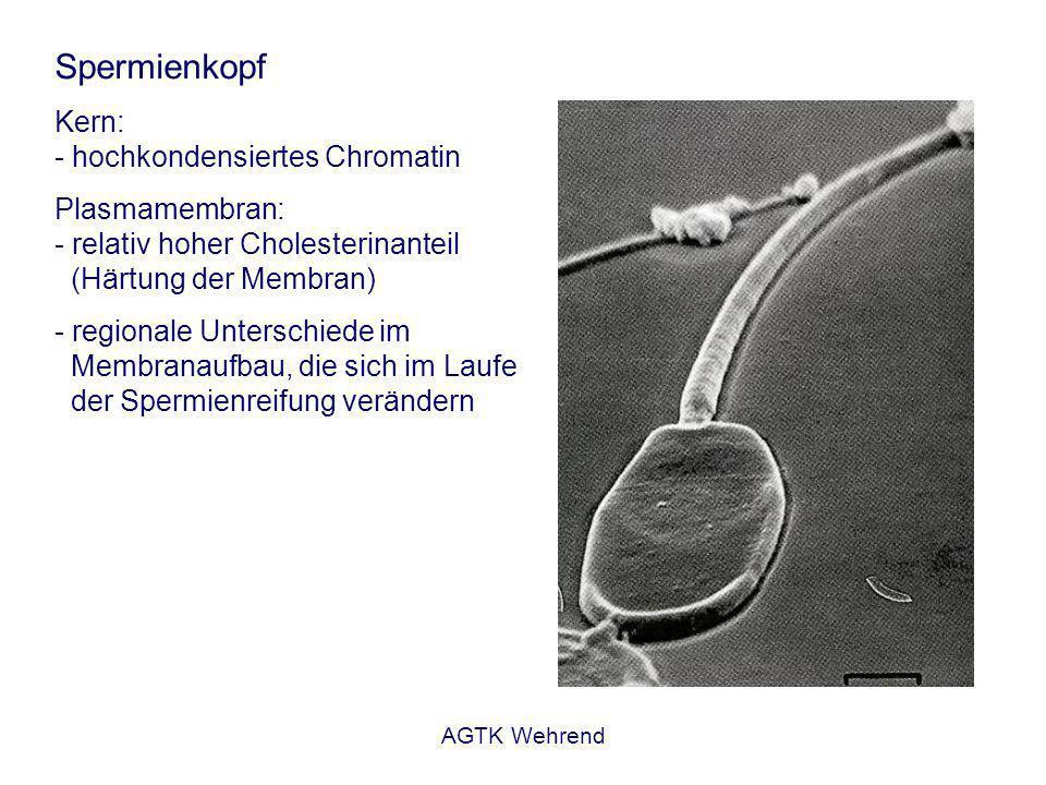 AGTK Wehrend Spermienkopf Kern: - hochkondensiertes Chromatin Plasmamembran: - relativ hoher Cholesterinanteil (Härtung der Membran) - regionale Unterschiede im Membranaufbau, die sich im Laufe der Spermienreifung verändern