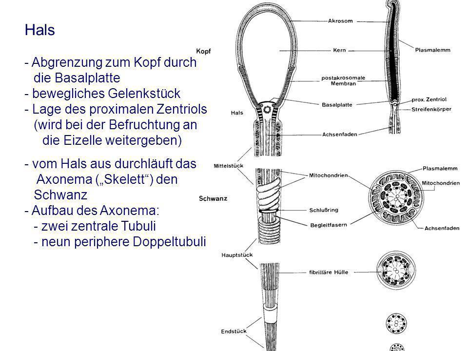 AGTK Wehrend Hals - Abgrenzung zum Kopf durch die Basalplatte - bewegliches Gelenkstück - Lage des proximalen Zentriols (wird bei der Befruchtung an die Eizelle weitergeben) - vom Hals aus durchläuft das Axonema (Skelett) den Schwanz - Aufbau des Axonema: - zwei zentrale Tubuli - neun periphere Doppeltubuli