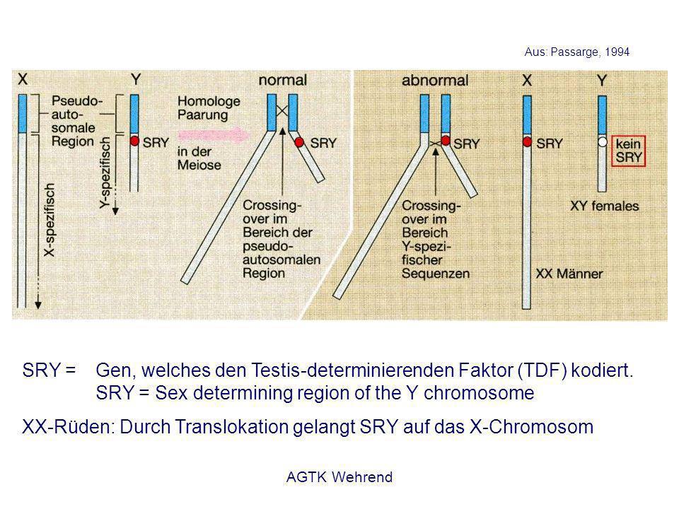 AGTK Wehrend Spermatogonie - Stammzellen der männlichen Gameten Spermatozyte 1.