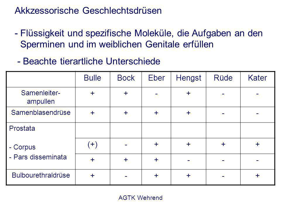 AGTK Wehrend Akkzessorische Geschlechtsdrüsen - Flüssigkeit und spezifische Moleküle, die Aufgaben an den Sperminen und im weiblichen Genitale erfüllen - Beachte tierartliche Unterschiede BulleBockEberHengstRüdeKater Samenleiter- ampullen ++-+-- Samenblasendrüse ++++-- Prostata - Corpus - Pars disseminata (+)-++++ +++--- Bulbourethraldrüse +-++-+