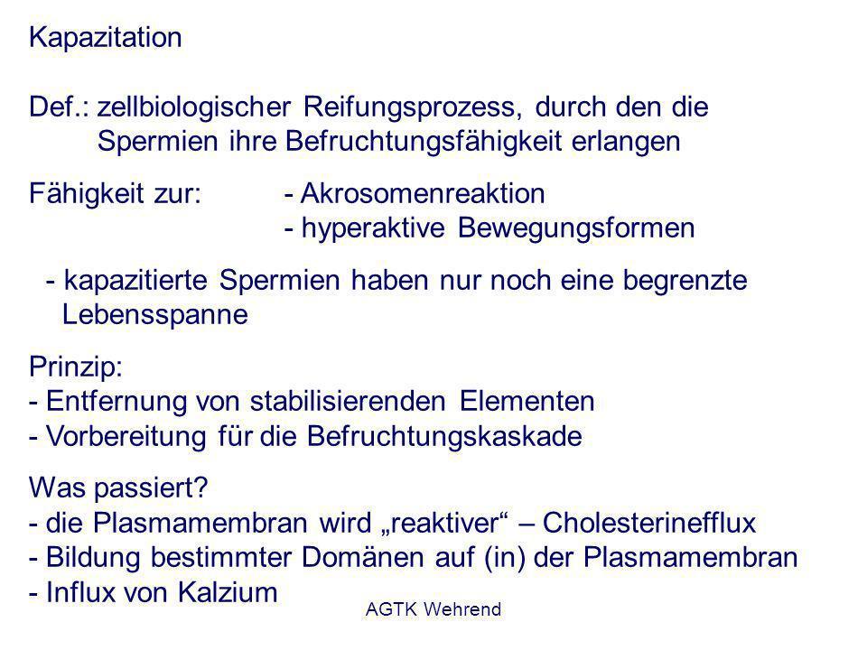 AGTK Wehrend Kapazitation Def.: zellbiologischer Reifungsprozess, durch den die Spermien ihre Befruchtungsfähigkeit erlangen Fähigkeit zur:- Akrosomenreaktion - hyperaktive Bewegungsformen - kapazitierte Spermien haben nur noch eine begrenzte Lebensspanne Prinzip: - Entfernung von stabilisierenden Elementen - Vorbereitung für die Befruchtungskaskade Was passiert.