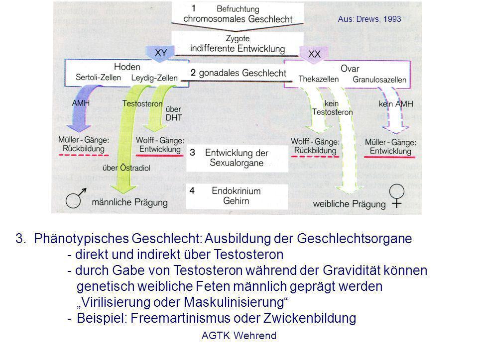 AGTK Wehrend 3.Phänotypisches Geschlecht: Ausbildung der Geschlechtsorgane - direkt und indirekt über Testosteron - durch Gabe von Testosteron während der Gravidität können genetisch weibliche Feten männlich geprägt werden Virilisierung oder Maskulinisierung - Beispiel: Freemartinismus oder Zwickenbildung Aus: Drews, 1993