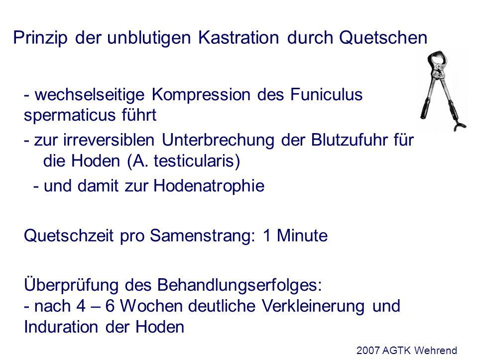 Prinzip der unblutigen Kastration durch Quetschen - wechselseitige Kompression des Funiculus spermaticus führt - zur irreversiblen Unterbrechung der Blutzufuhr für die Hoden (A.