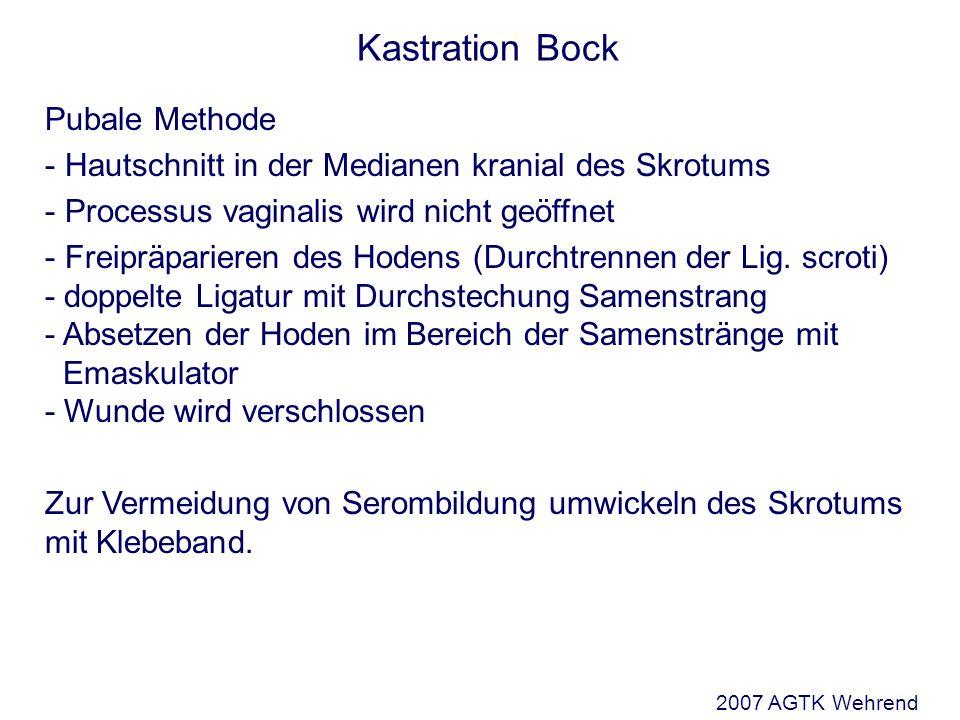 Kastration Bock Pubale Methode - Hautschnitt in der Medianen kranial des Skrotums - Processus vaginalis wird nicht geöffnet - Freipräparieren des Hodens (Durchtrennen der Lig.