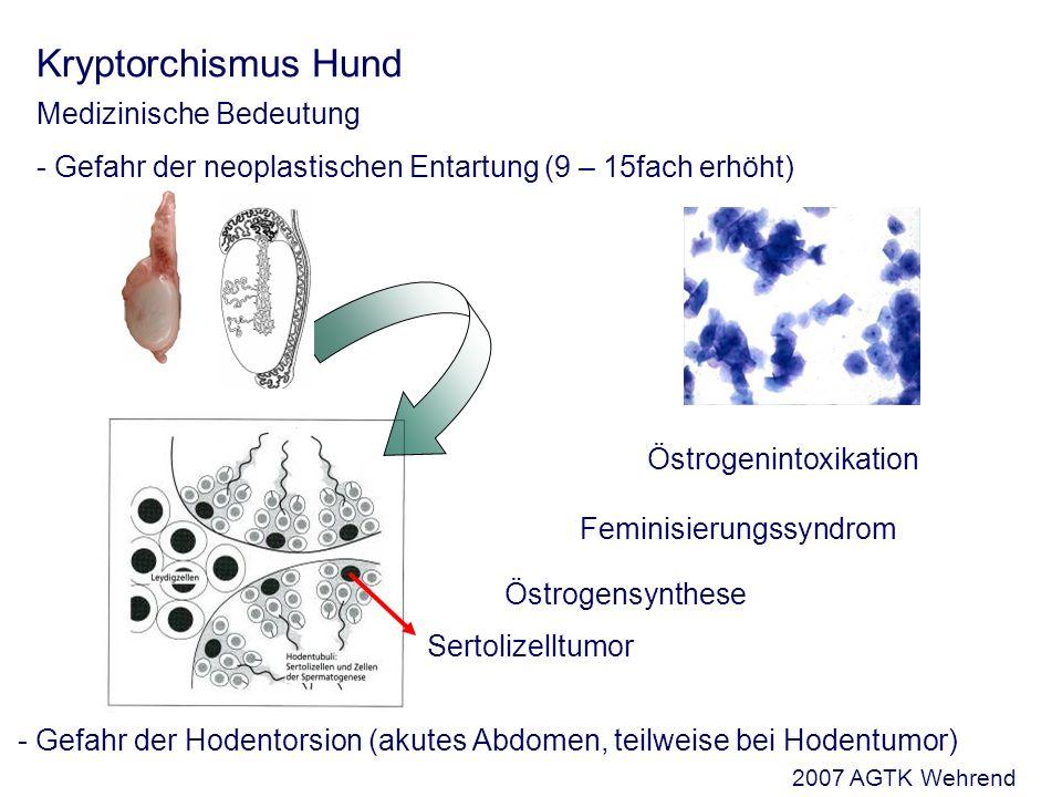 Kryptorchismus Hund Medizinische Bedeutung - Gefahr der neoplastischen Entartung (9 – 15fach erhöht) Sertolizelltumor Östrogensynthese Feminisierungssyndrom Östrogenintoxikation - Gefahr der Hodentorsion (akutes Abdomen, teilweise bei Hodentumor) 2007 AGTK Wehrend