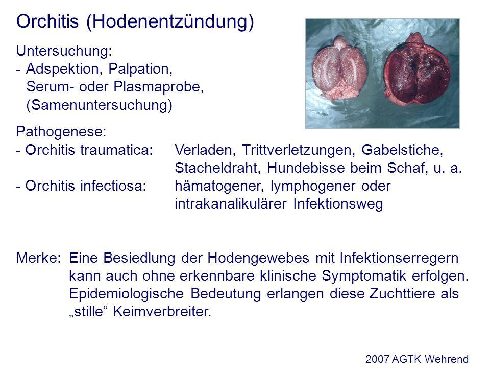 Orchitis (Hodenentzündung) Untersuchung: - Adspektion, Palpation, Serum- oder Plasmaprobe, (Samenuntersuchung) Pathogenese: - Orchitis traumatica:Verladen, Trittverletzungen, Gabelstiche, Stacheldraht, Hundebisse beim Schaf, u.
