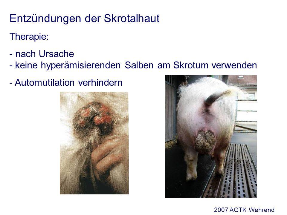 Entzündungen der Skrotalhaut Therapie: - nach Ursache - keine hyperämisierenden Salben am Skrotum verwenden - Automutilation verhindern 2007 AGTK Wehrend