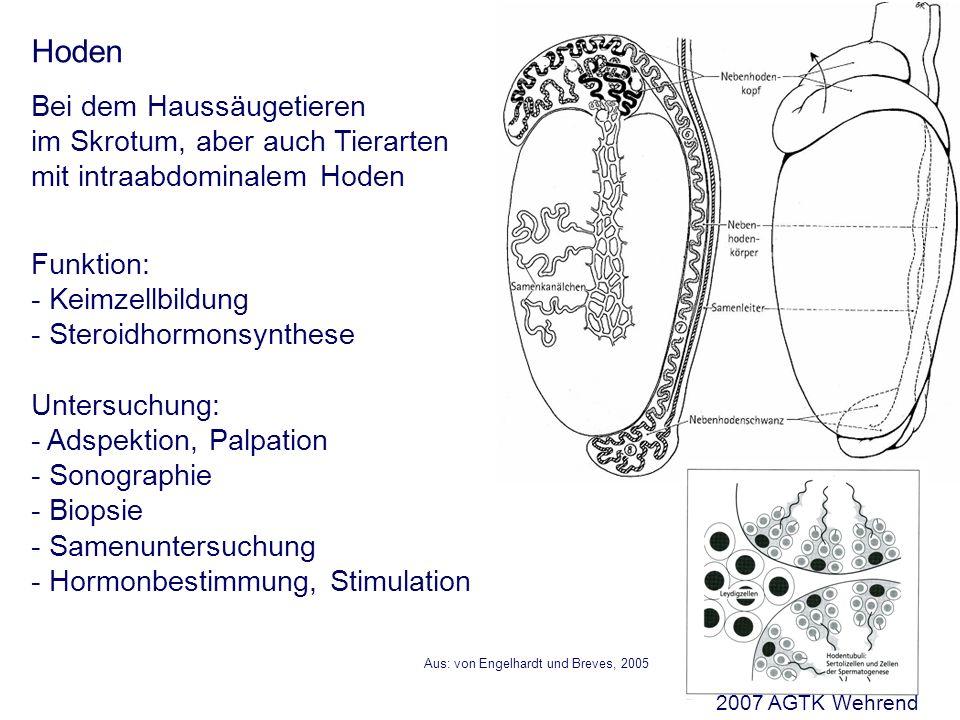 Aus: von Engelhardt und Breves, 2005 Hoden Bei dem Haussäugetieren im Skrotum, aber auch Tierarten mit intraabdominalem Hoden Funktion: - Keimzellbildung - Steroidhormonsynthese Untersuchung: - Adspektion, Palpation - Sonographie - Biopsie - Samenuntersuchung - Hormonbestimmung, Stimulation 2007 AGTK Wehrend