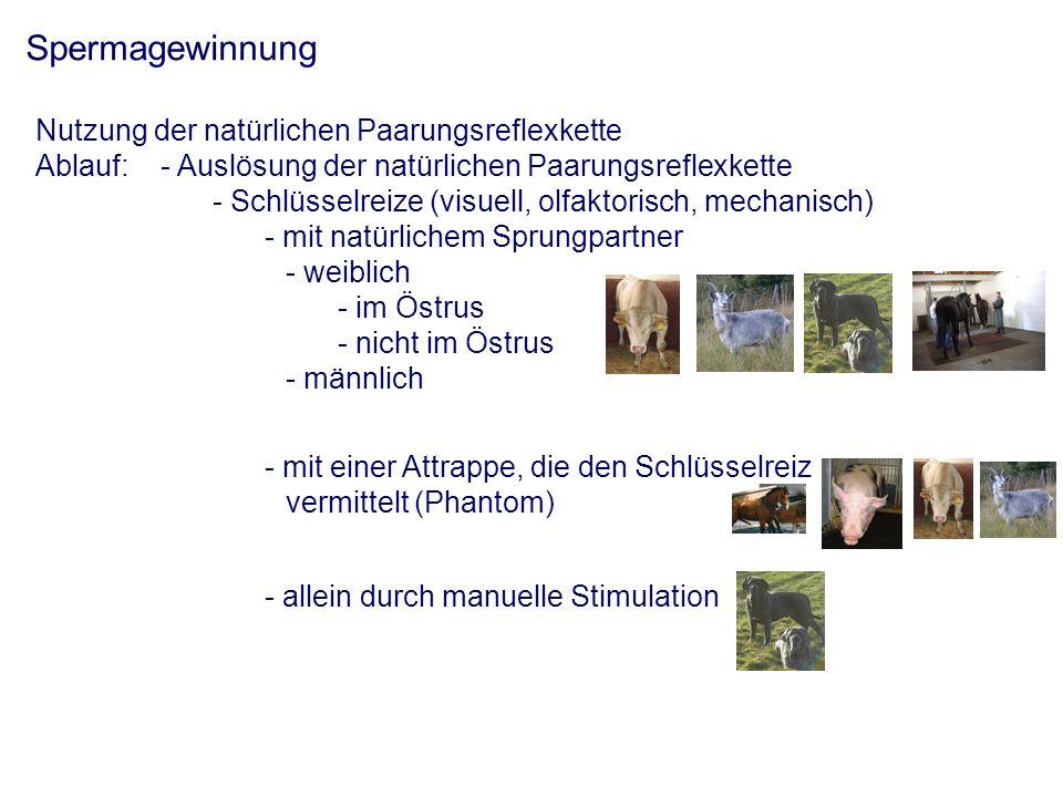 Spermagewinnung Nutzung der natürlichen Paarungsreflexkette Ablauf:- Auslösung der natürlichen Paarungsreflexkette - Schlüsselreize (visuell, olfaktorisch, mechanisch) - mit natürlichem Sprungpartner - weiblich - im Östrus - nicht im Östrus - männlich - mit einer Attrappe, die den Schlüsselreiz vermittelt (Phantom) - allein durch manuelle Stimulation