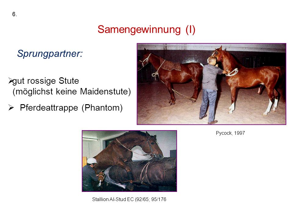 Samengewinnung (I) Sprungpartner: gut rossige Stute (möglichst keine Maidenstute) Pferdeattrappe (Phantom) Stallion AI-Stud EC (92/65; 95/176 Pycock,