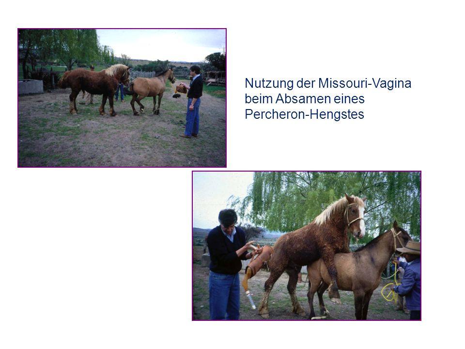 Nutzung der Missouri-Vagina beim Absamen eines Percheron-Hengstes