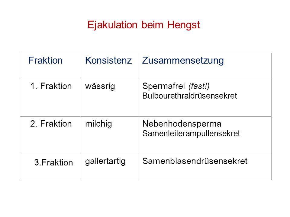 Ejakulation beim Hengst FraktionKonsistenzZusammensetzung 1 1. Fraktion. Fraktion wässrigSpermafrei (fast!) (fast!) Bulbourethraldrüsensekret Bulboure