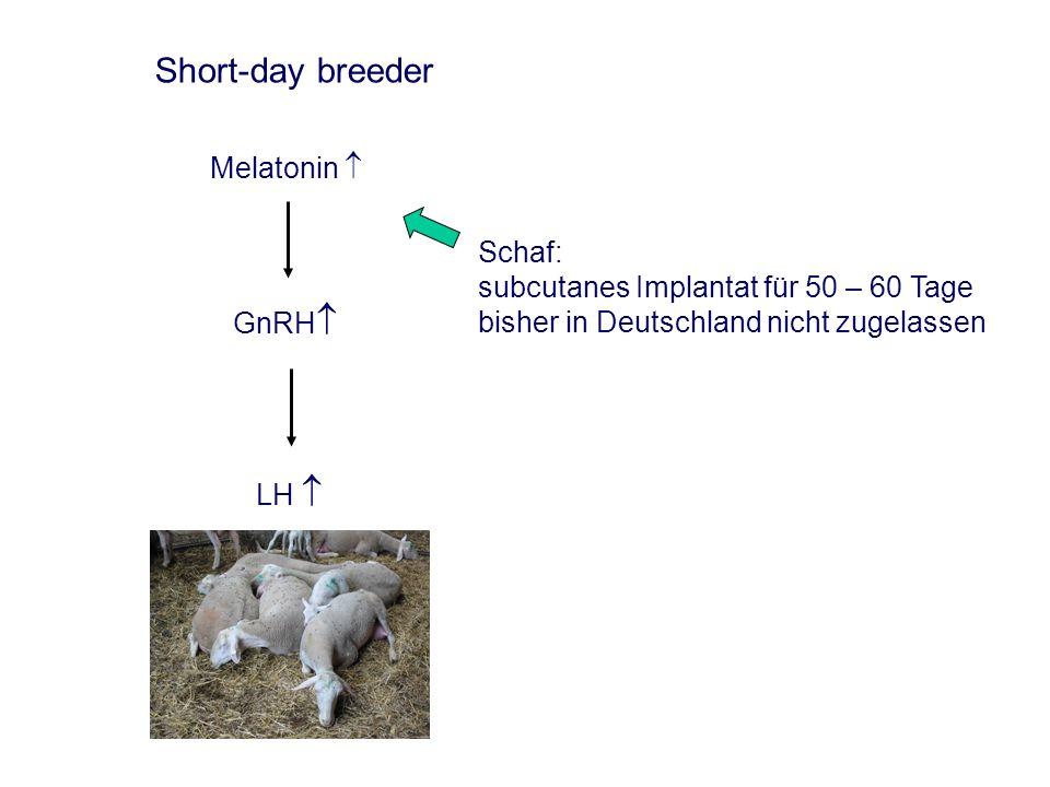 Instrumentelle Besamung beim Schaf Optimaler Besamungszeitpunkt beim Schaf (nach Salomon, 1974 – zitiert nach Busch, 2001)