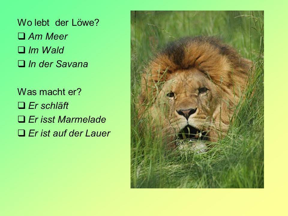 Wo lebt der Löwe? Am Meer Im Wald In der Savana Was macht er? Er schläft Er isst Marmelade Er ist auf der Lauer