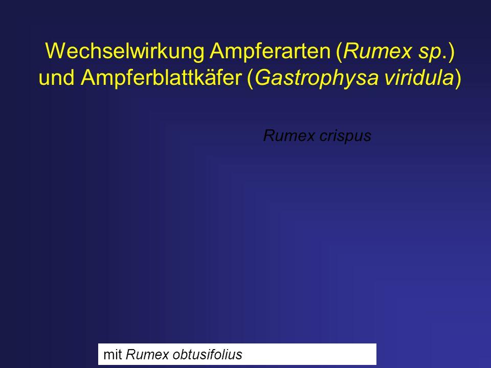 Wechselwirkung Ampferarten (Rumex sp.) und Ampferblattkäfer (Gastrophysa viridula) Rumex crispus mit Rumex obtusifolius