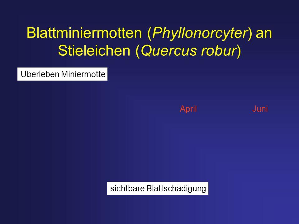 Blattminiermotten (Phyllonorcyter) an Stieleichen (Quercus robur) AprilJuni sichtbare Blattschädigung Überleben Miniermotte