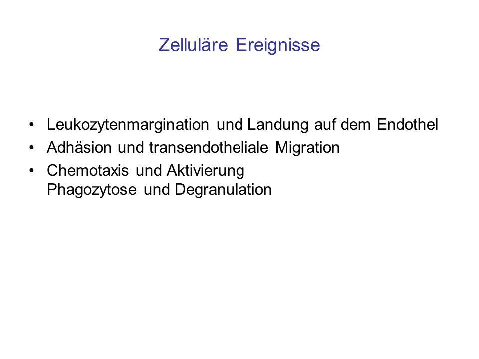 Zelluläre Ereignisse Leukozytenmargination und Landung auf dem Endothel Adhäsion und transendotheliale Migration Chemotaxis und Aktivierung Phagozytos