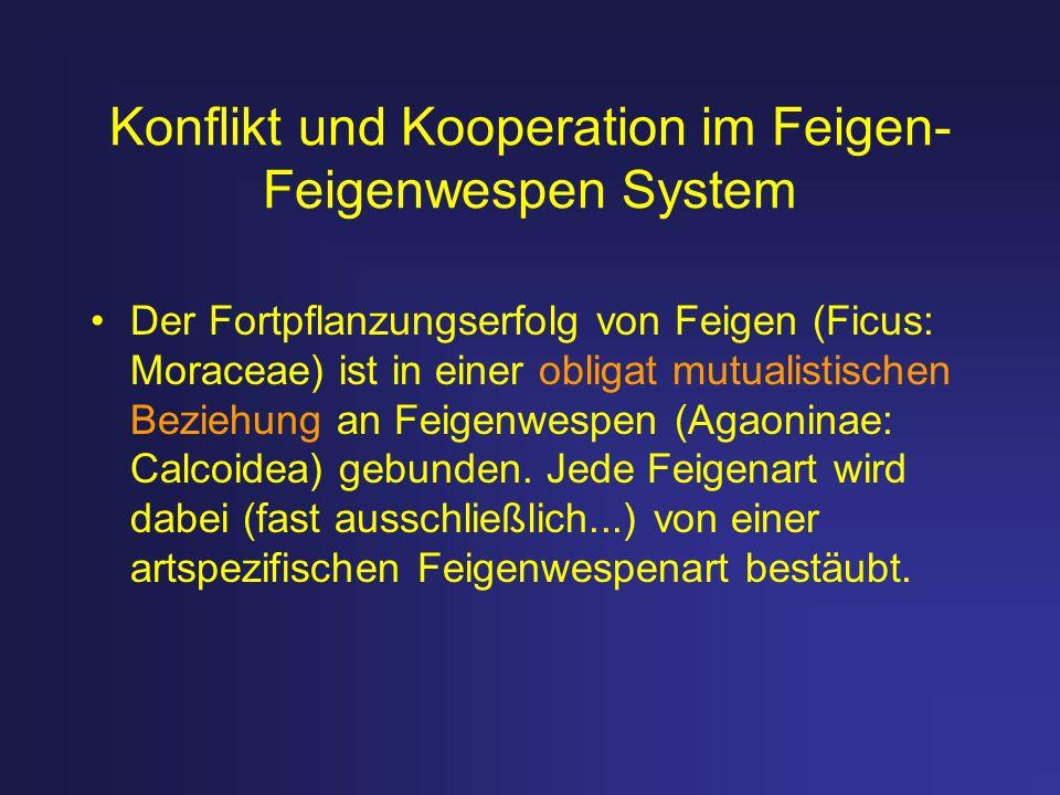 Konflikt und Kooperation im Feigen- Feigenwespen System Der Fortpflanzungserfolg von Feigen (Ficus: Moraceae) ist in einer obligat mutualistischen Bez