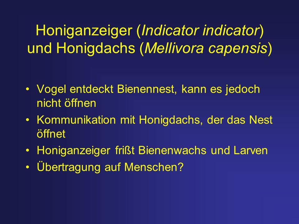 Honiganzeiger (Indicator indicator) und Honigdachs (Mellivora capensis) Vogel entdeckt Bienennest, kann es jedoch nicht öffnen Kommunikation mit Honig
