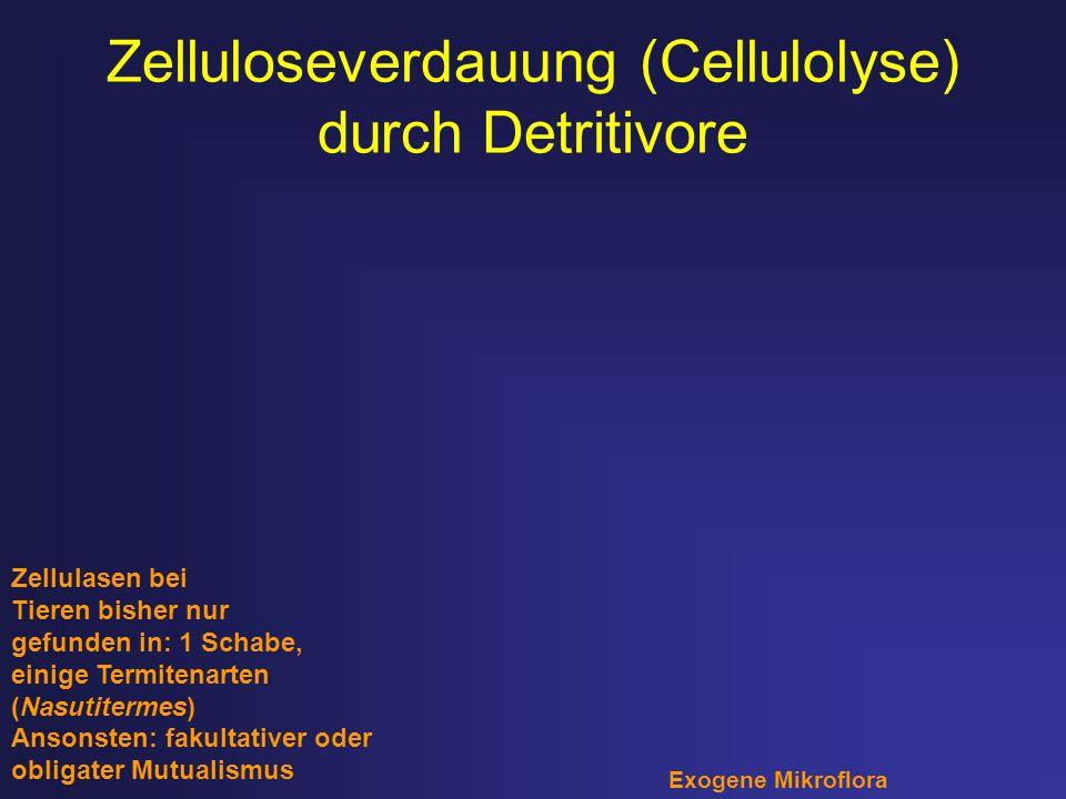 Zelluloseverdauung (Cellulolyse) durch Detritivore Zellulasen bei Tieren bisher nur gefunden in: 1 Schabe, einige Termitenarten (Nasutitermes) Ansonst