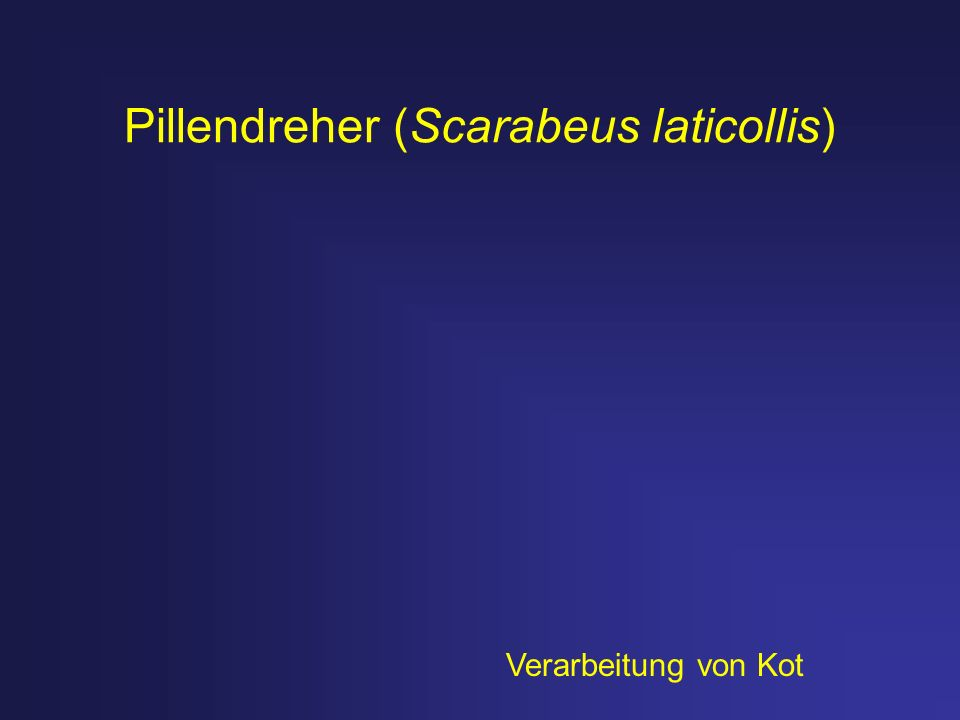 Pillendreher (Scarabeus laticollis) Verarbeitung von Kot