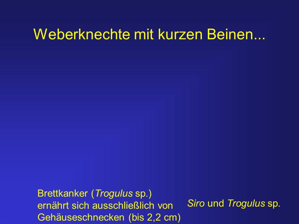 Weberknechte mit kurzen Beinen... Brettkanker (Trogulus sp.) ernährt sich ausschließlich von Gehäuseschnecken (bis 2,2 cm) Siro und Trogulus sp.