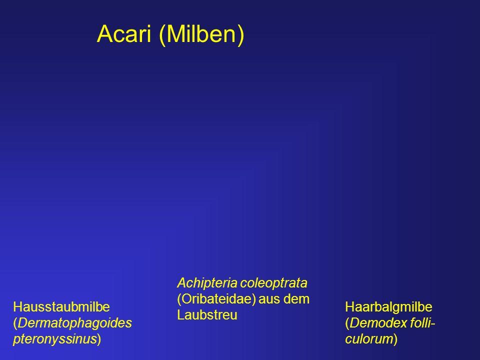 Achipteria coleoptrata (Oribateidae) aus dem Laubstreu Haarbalgmilbe (Demodex folli- culorum) Acari (Milben) Hausstaubmilbe (Dermatophagoides pteronys