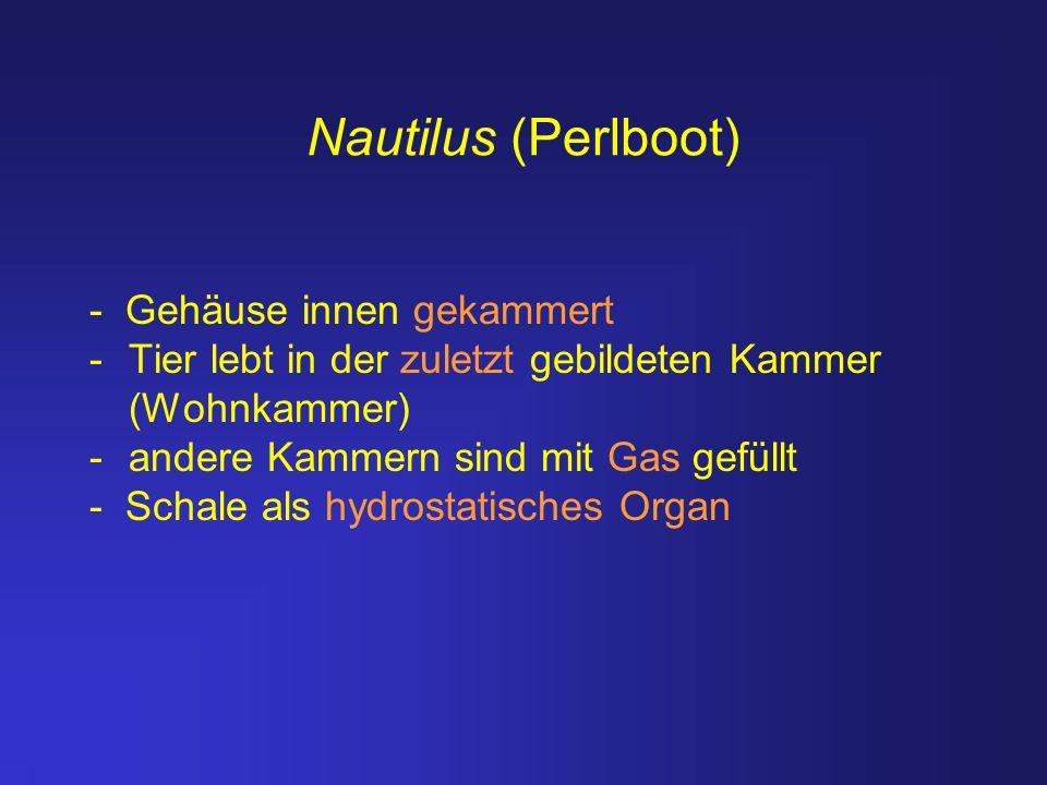 Nautilus (Perlboot) - Gehäuse innen gekammert -Tier lebt in der zuletzt gebildeten Kammer (Wohnkammer) -andere Kammern sind mit Gas gefüllt - Schale a