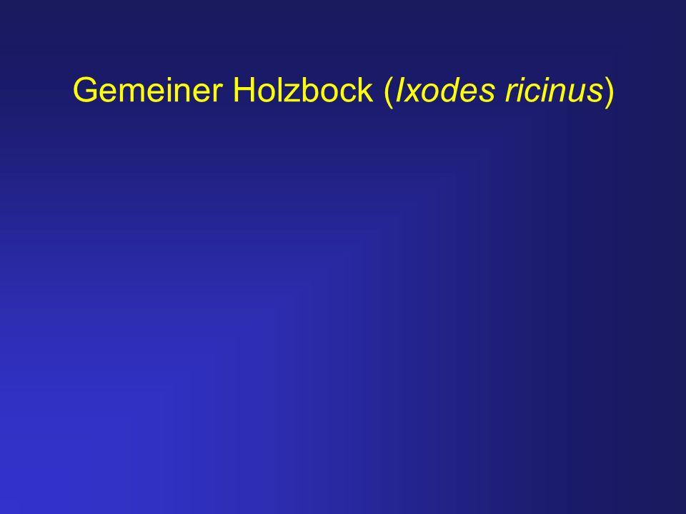 Gemeiner Holzbock (Ixodes ricinus)