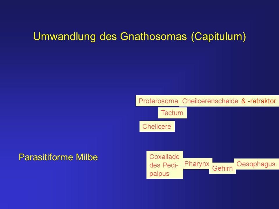 Umwandlung des Gnathosomas (Capitulum) Parasitiforme Milbe Chelicere Gehirn Pharynx Oesophagus Tectum Coxallade des Pedi- palpus Cheilcerenscheide & -