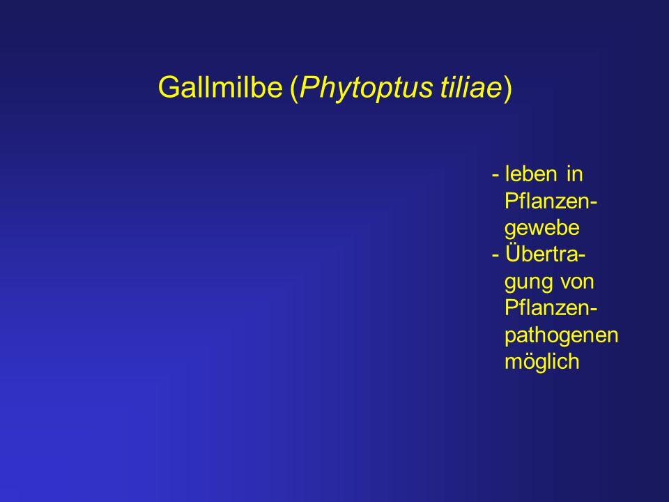 Gallmilbe (Phytoptus tiliae) - leben in Pflanzen- gewebe - Übertra- gung von Pflanzen- pathogenen möglich