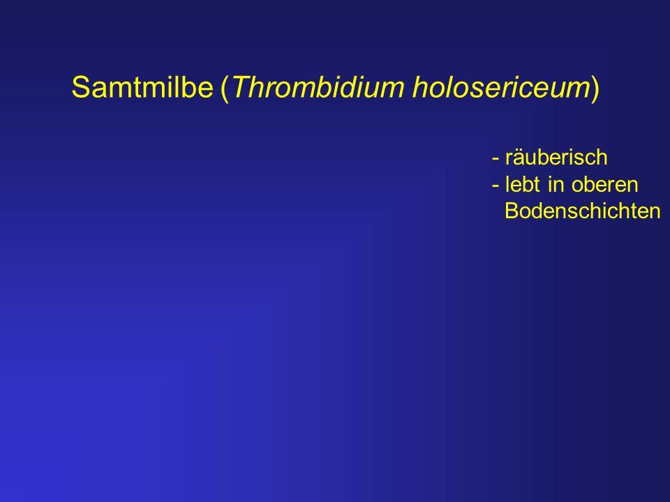 Samtmilbe (Thrombidium holosericeum) - räuberisch - lebt in oberen Bodenschichten