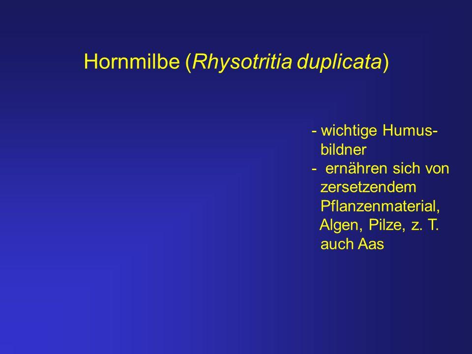 Hornmilbe (Rhysotritia duplicata) - wichtige Humus- bildner - ernähren sich von zersetzendem Pflanzenmaterial, Algen, Pilze, z. T. auch Aas